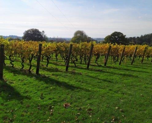 Vigne inglesi